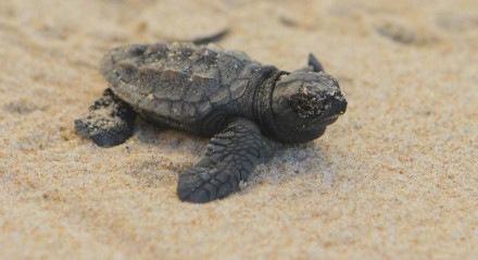 Para acompanhar o nascimento das tartarugas marinhas basta entrar em contato com a ONG Ecoassociados