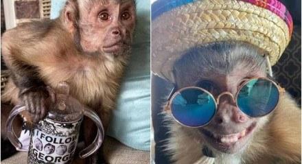 O macaco capuchino George morreu nesta segunda-feira (7) enquanto fazia um check-up de rotina no veterinário