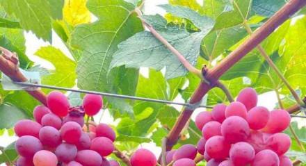 A nova variedade da uva tem sabor de frutas vermelhas e alta produtividade