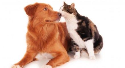 Enquanto os cachorros adquirem uma forma de baixa gravidade, os gatos geralmente adquirem uma forma grave e disseminada da doença