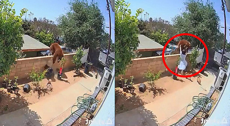 Mulher briga com urso para salvar cães; veja vídeo