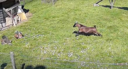 O dono da propriedade comentou que essa é a terceira vez que os animais da fazenda se uniram para defender bichos de outros predadores famintos