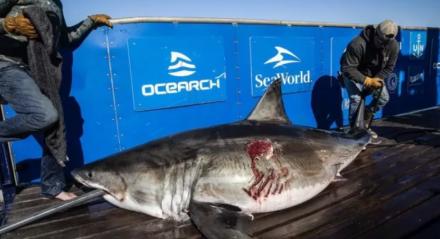 A fêmea adulta de tubarão-branco, da espécie Carcharodon carcharias, mede aproximadamente 2,5 metros e pesa cerca de 573 quilogramas