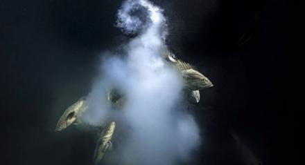 Peixes avançam para liberar espermatozoides enquanto uma fêmea solta uma explosão de óvulos