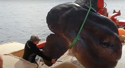 Peixe-lua é encontrado por pescadores na Espanha.